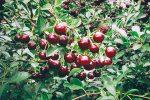 Buske med buskkörsbäret Carmine Jewel