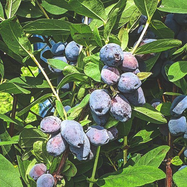 Mogen Blue Treasure blåbärstry