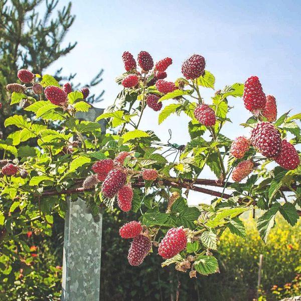 Röda och mogna björnhallon på buske