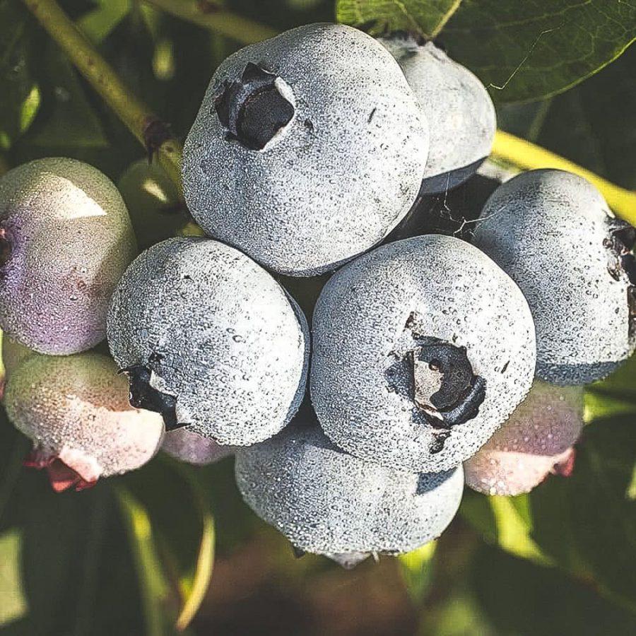 Mogna Chandler blåbär på buske
