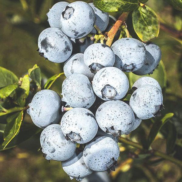 Mogna Duke blåbär på kvist