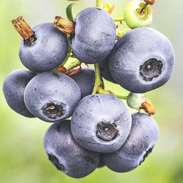 Mogna North Blue blåbär på kvist
