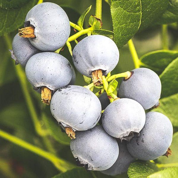 Mogna Polaris blåbär på kvist