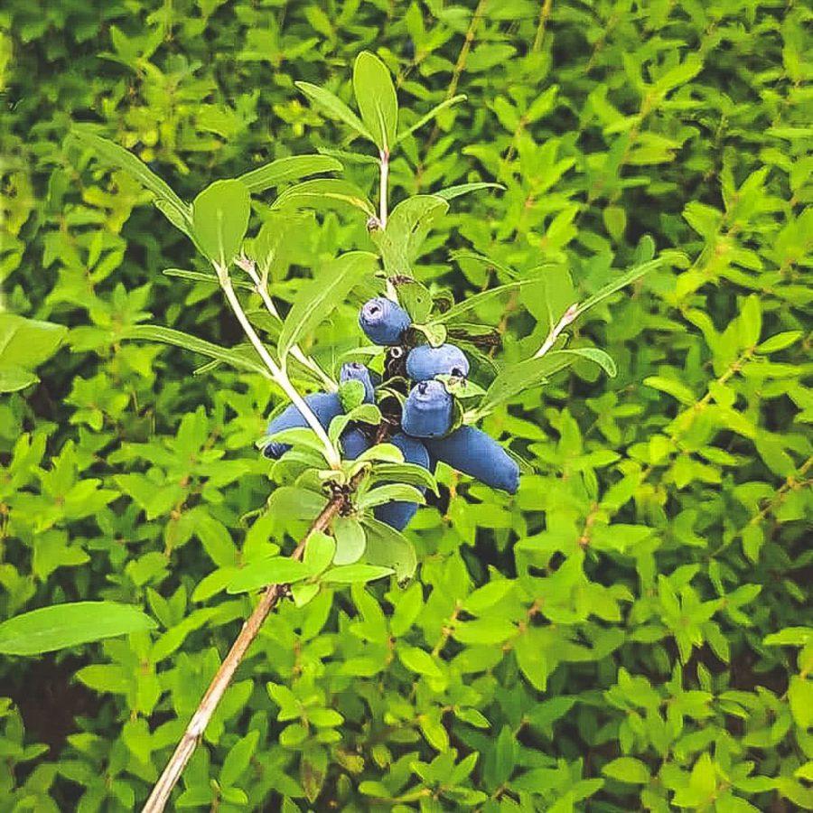 Mogna Aurora blåbärstry på buske