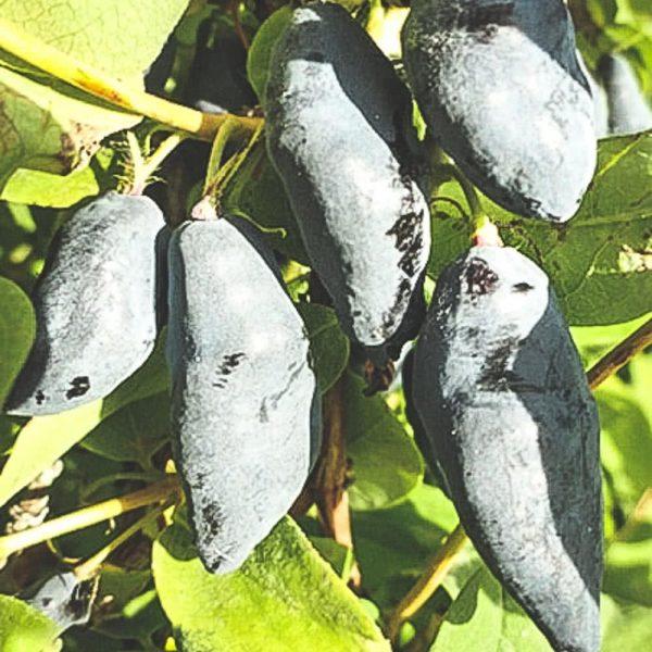 Närbild på mogna Blue-Banana blåbärstry på buske