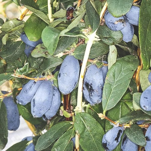 Mogna Boreal-Blizzard blåbärstry på buske