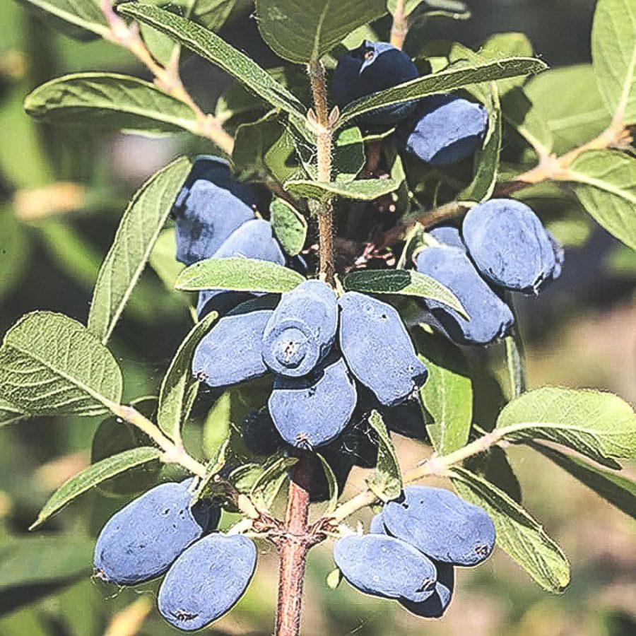 Mogna Honey-Bee blåbärstry på buske