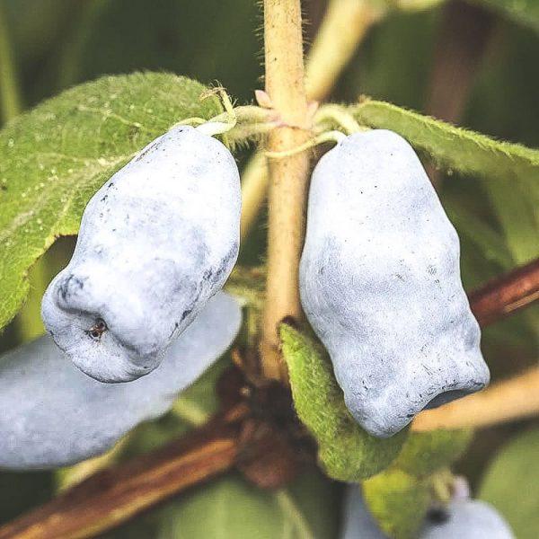 Mogna Jugana blåbärstry på buske