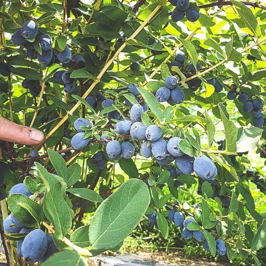 Mogna Strawberry-Sensation blåbärstry på buske