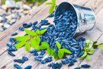 Mogen blåbärstry uthälld på träbord från metallhink