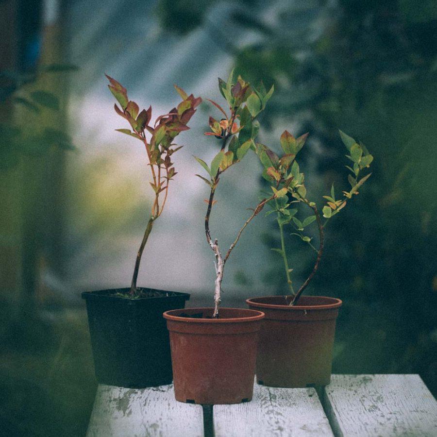 Tre plantor av amerikanska blåbär, Chandler och Duke