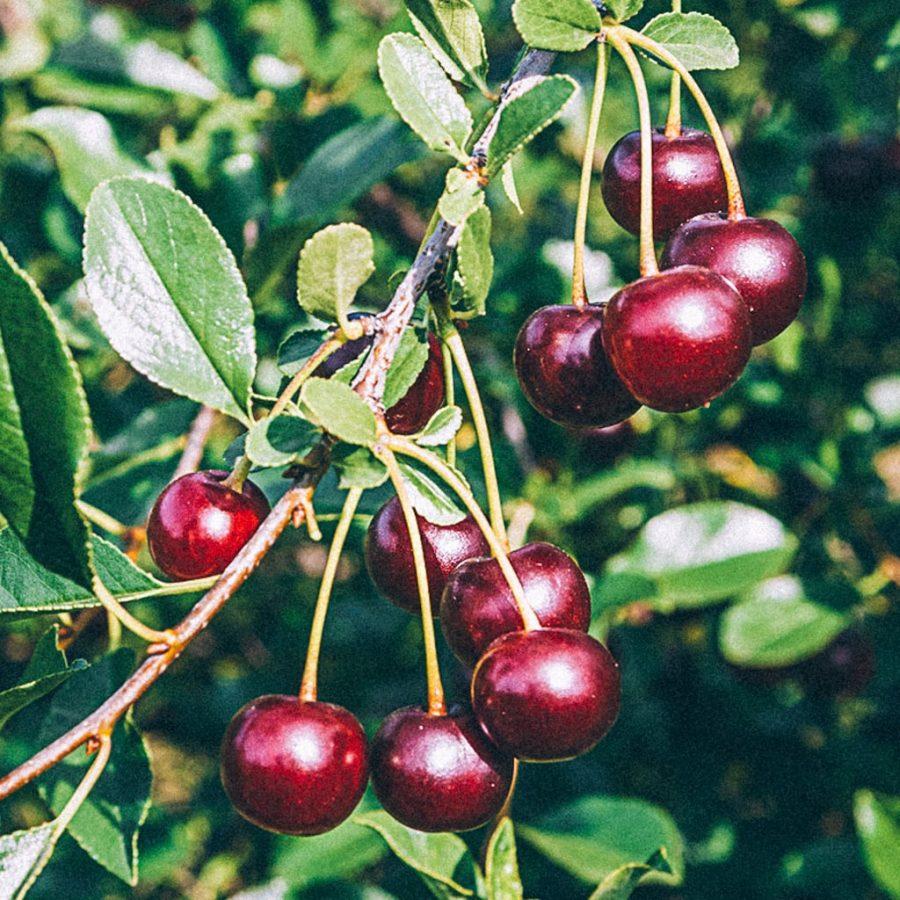 Ett knippe mörkröda buskkörsbär av sorten Carmine Jewel på kvist