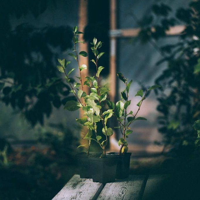 Buskkörsbär av sorten Carmine Jewel på vit träbänk i växthus