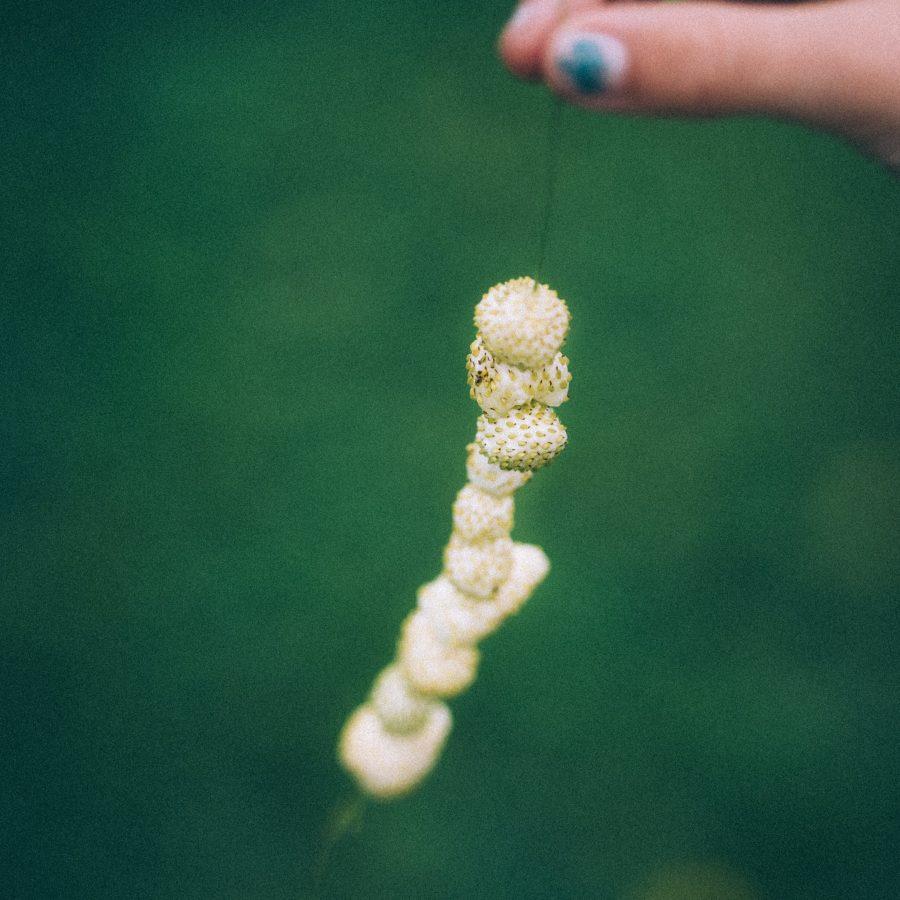 Vita smultron av sorten Yellow Wonder på grässtrå
